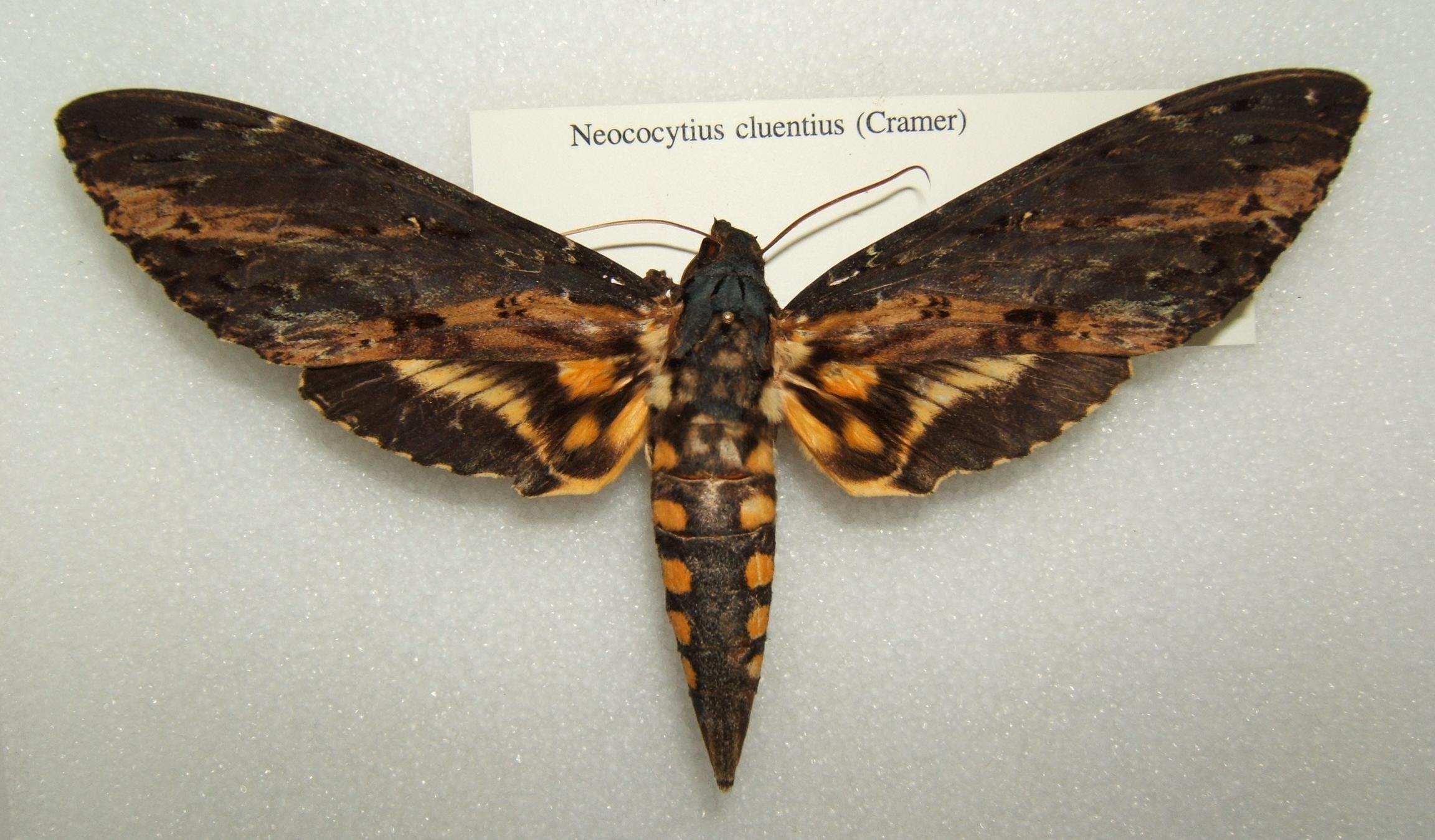 Neococytius_cluentius_sjh.JPG