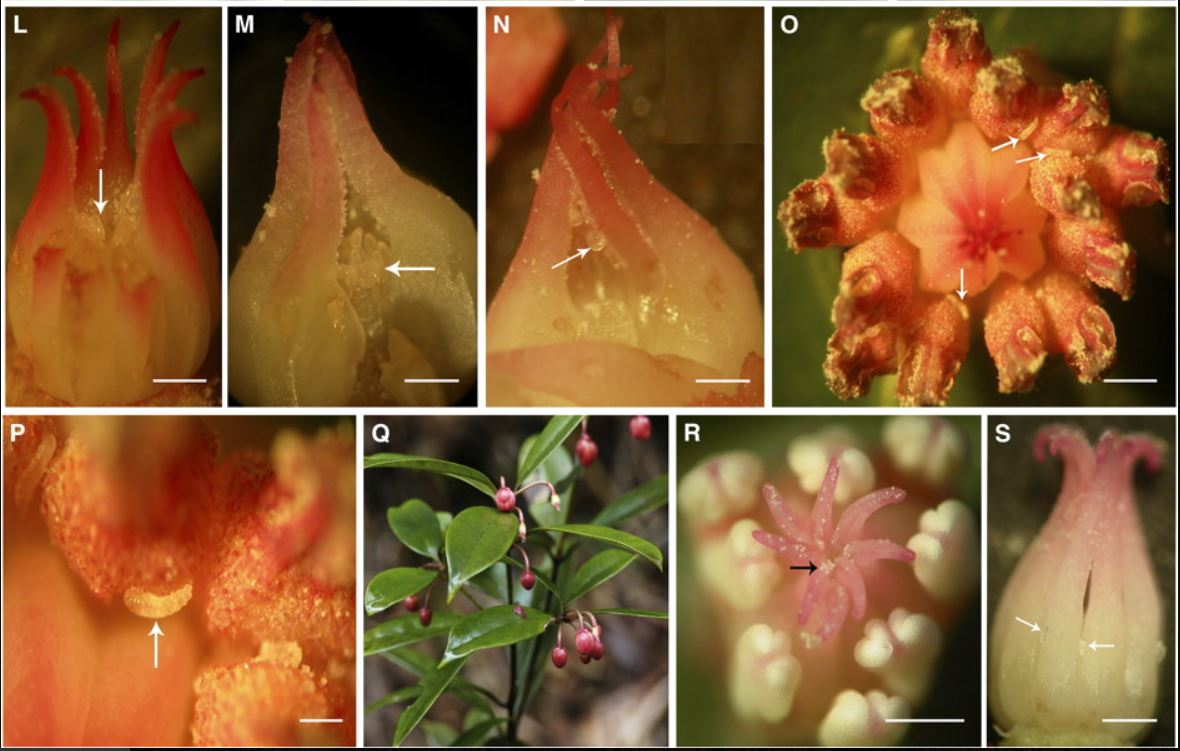 Floral morphology and interaction between midge larvae (white arrows) in   Illicium tsangii