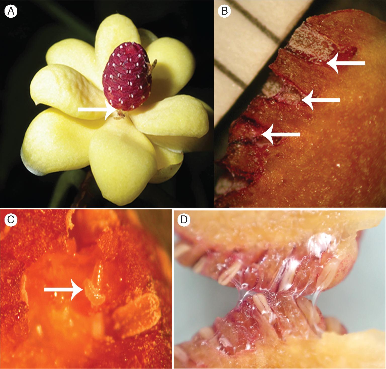 Flowers, pollinators ,and their larvae (white arrows) in  Kadsura heteroclita .
