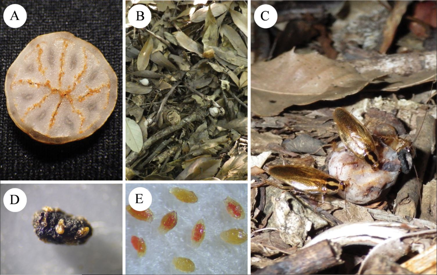 (A)  M. humile  fruit showing many minute seeds embedded in the less juicy pulp. (B) Fallen fruits.(C) Blattella nipponica feeding on the fruit. (D) Cockroach poop with seeds. (E) Stained cockroach-ingested seeds