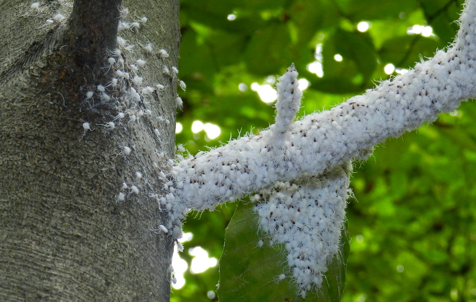A colony of beech blight aphids