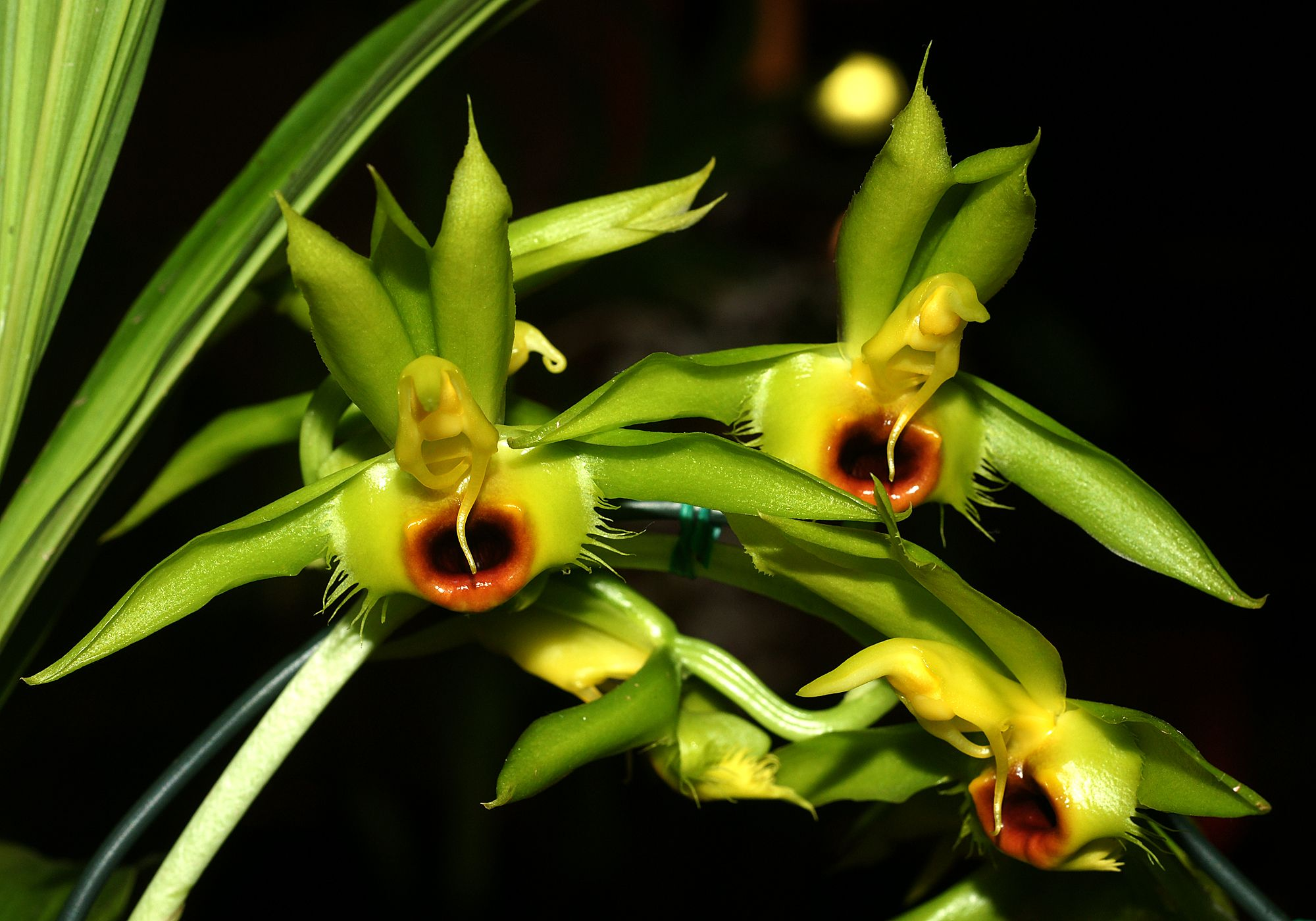 Male  Catasetum osculatum