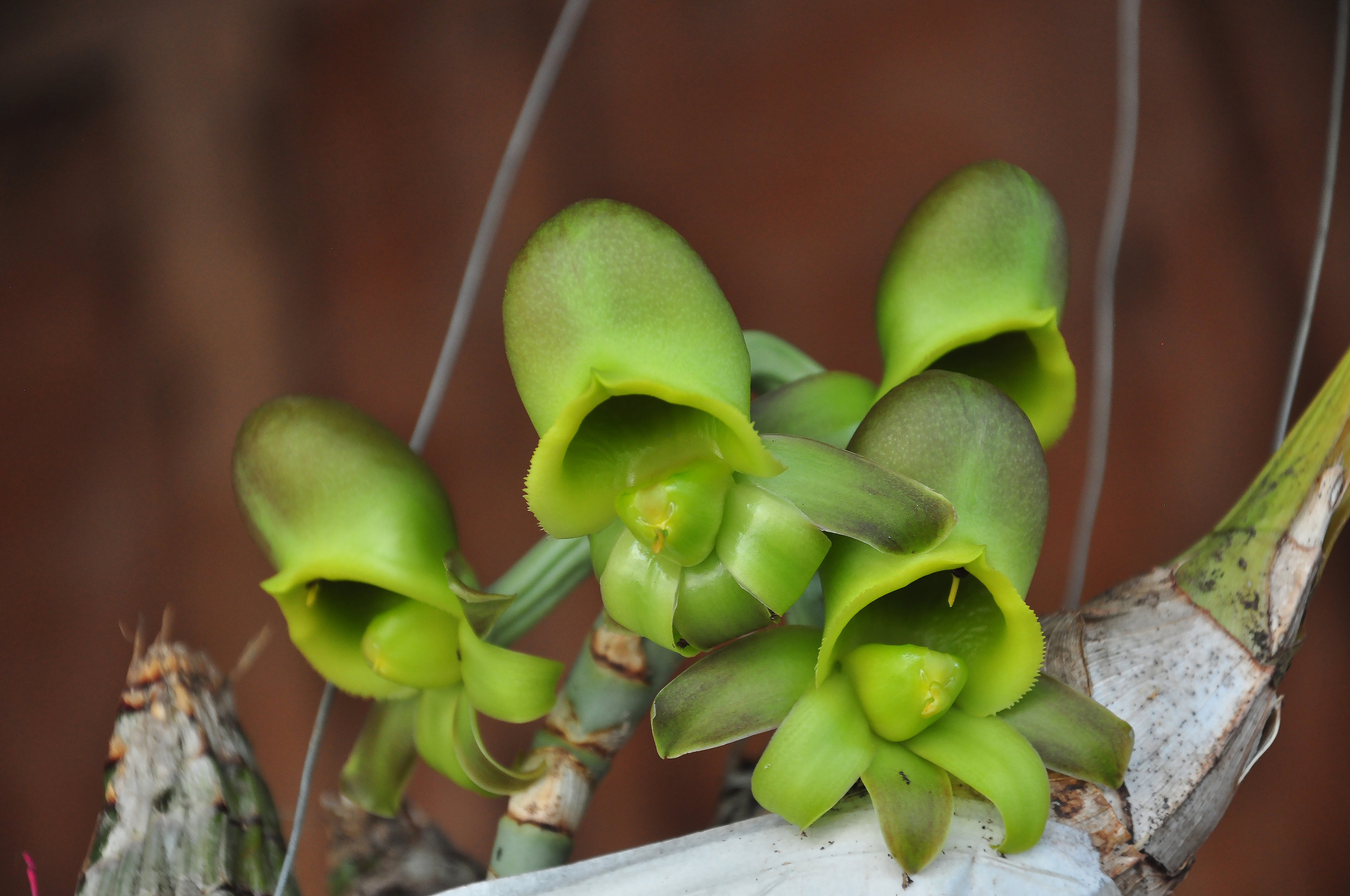 Female  Catasetum osculatum