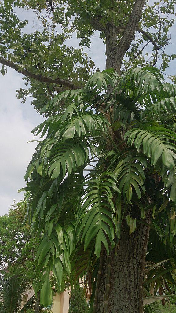 Epipremnum pinnatum  is similar until you see an adult plant