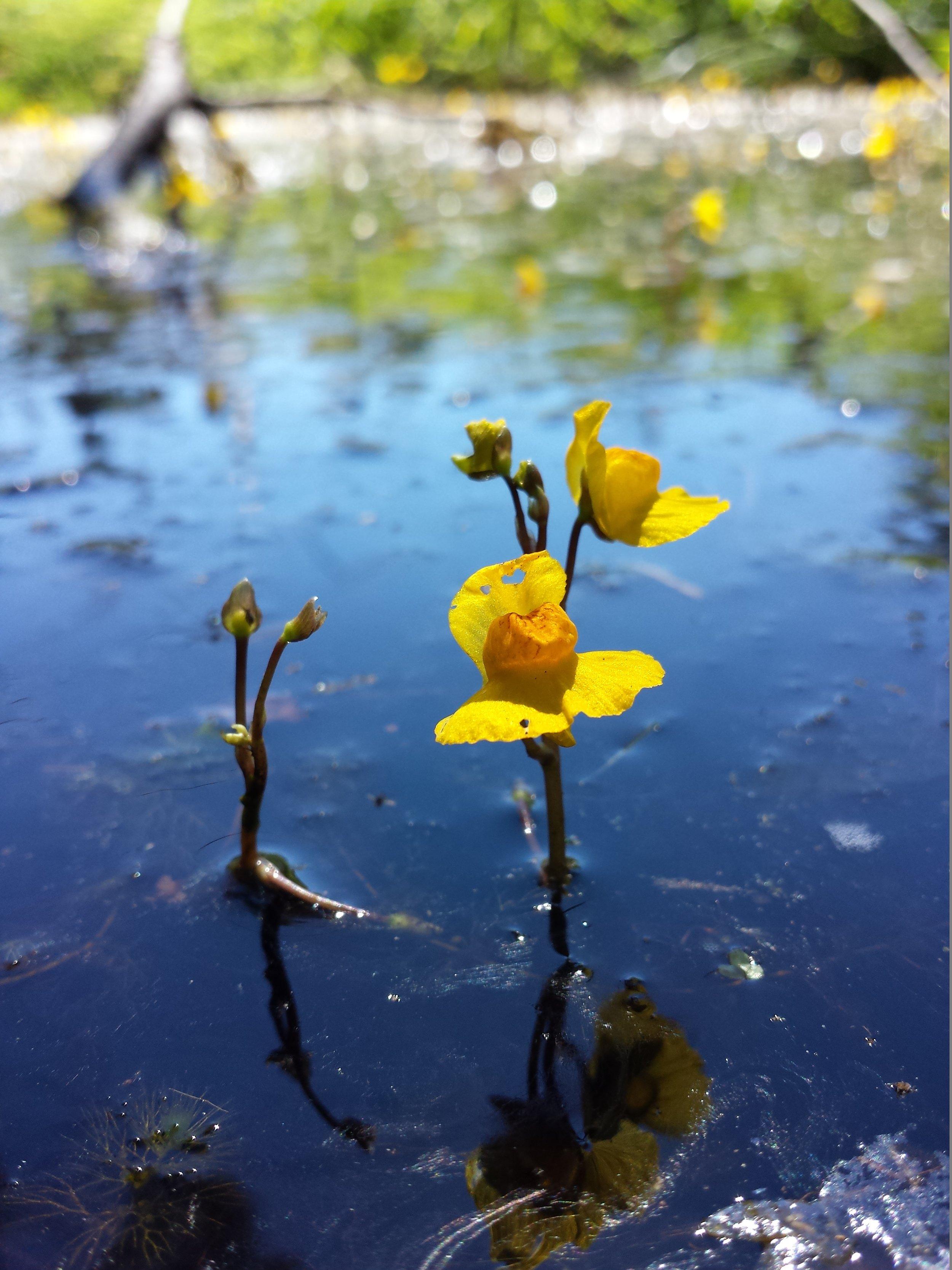 Utricularia_australis_sl5.jpg