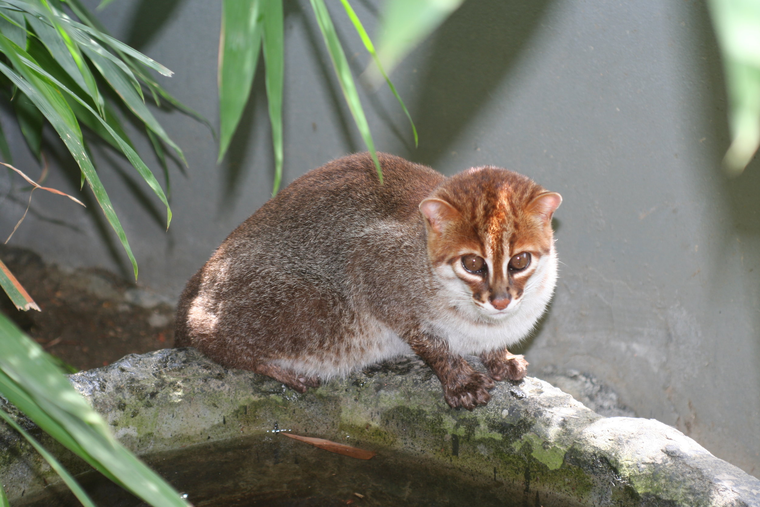 The flat-headed cat, an endemic of Borneo.