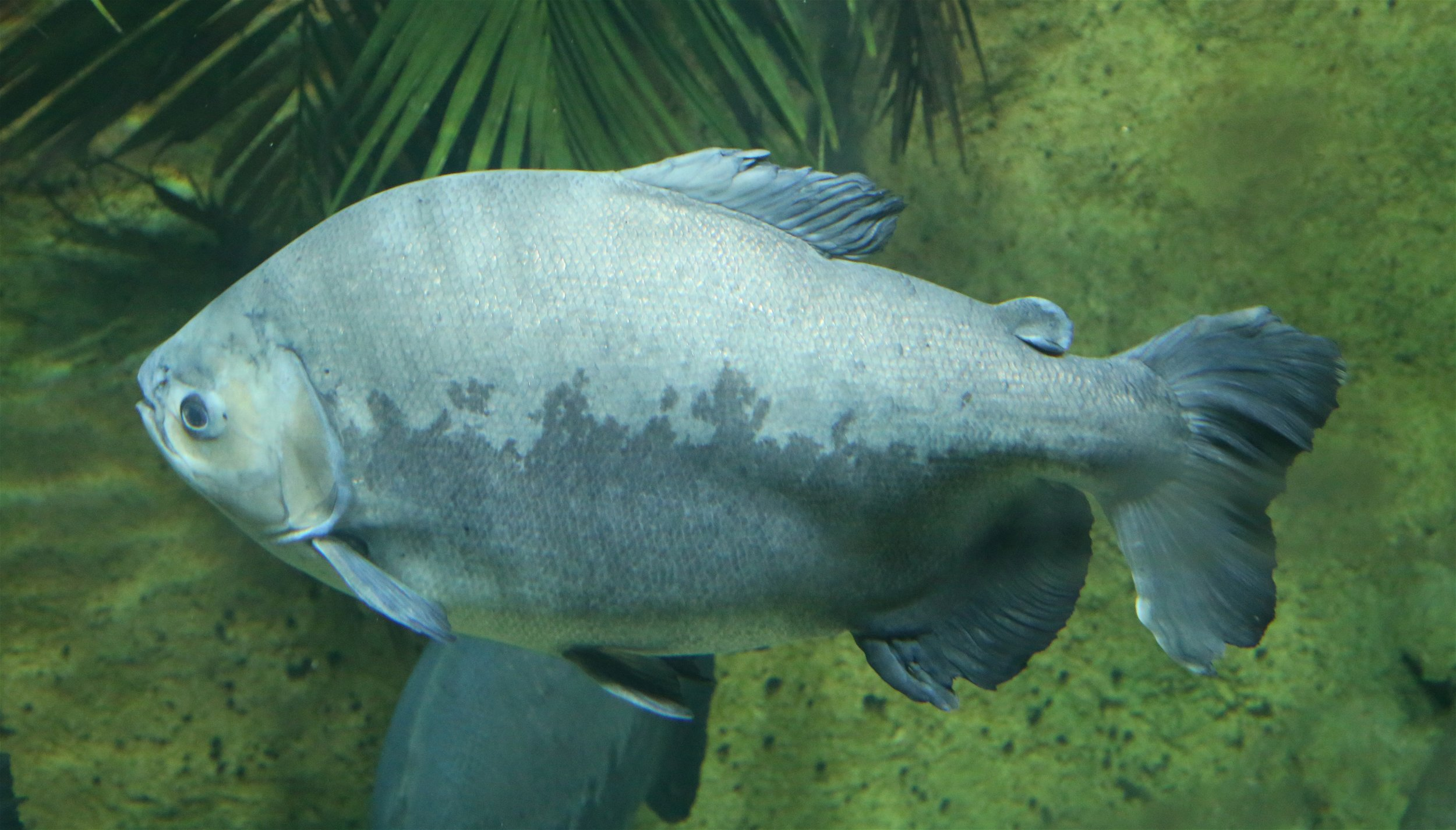 A big ol' pacu looking for its next fruit meal.