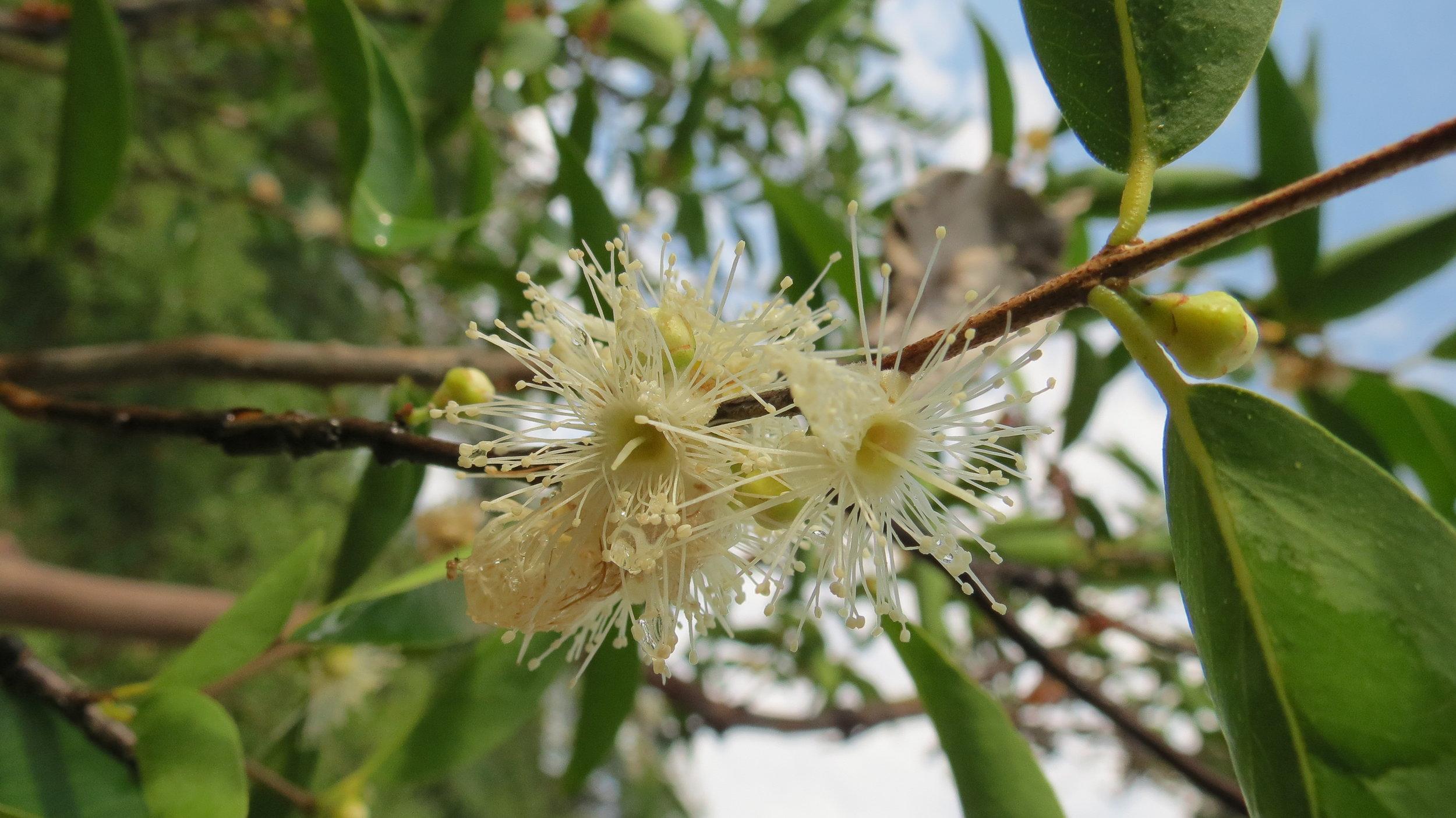 Camu-camu ( Myrciaria dubia )