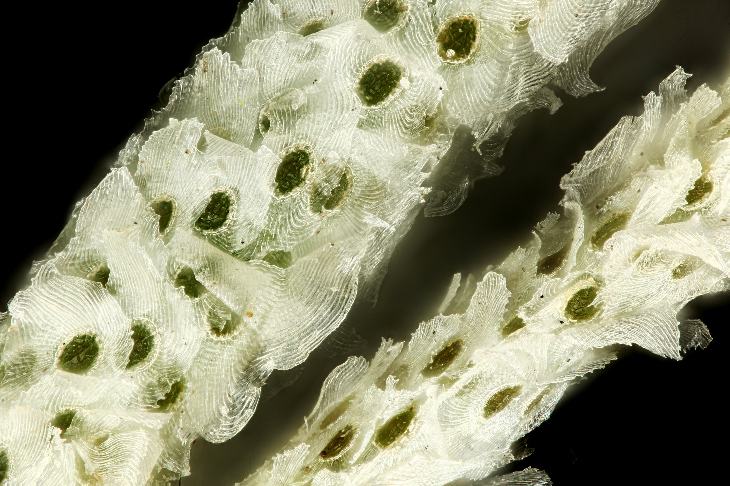 Trichomes up close.