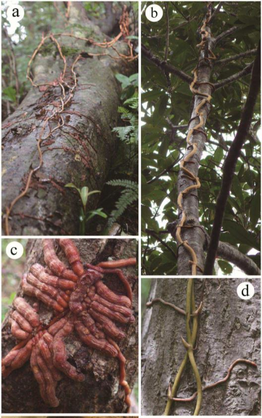 Stems climbing on fallen dead wood (a) or on standing living trees (b). A thick and densely branched root clump (c) and thin and elongate roots (d) [Source]