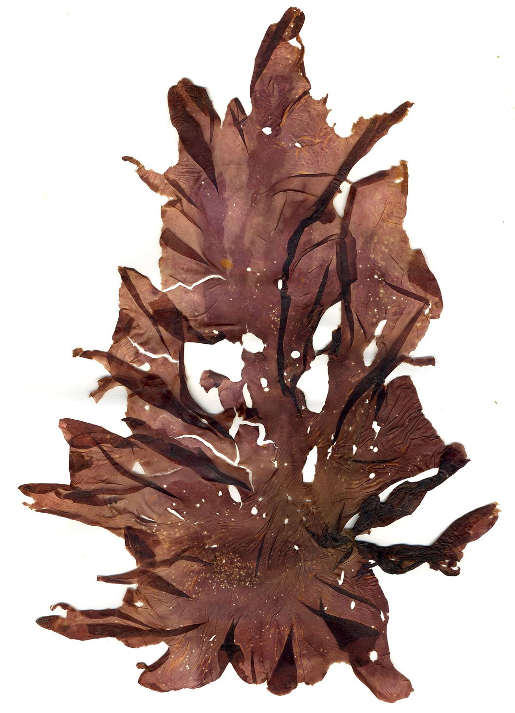 Porphyra umbilicalis   - One of the many species of red algae frequently referred to as nori.
