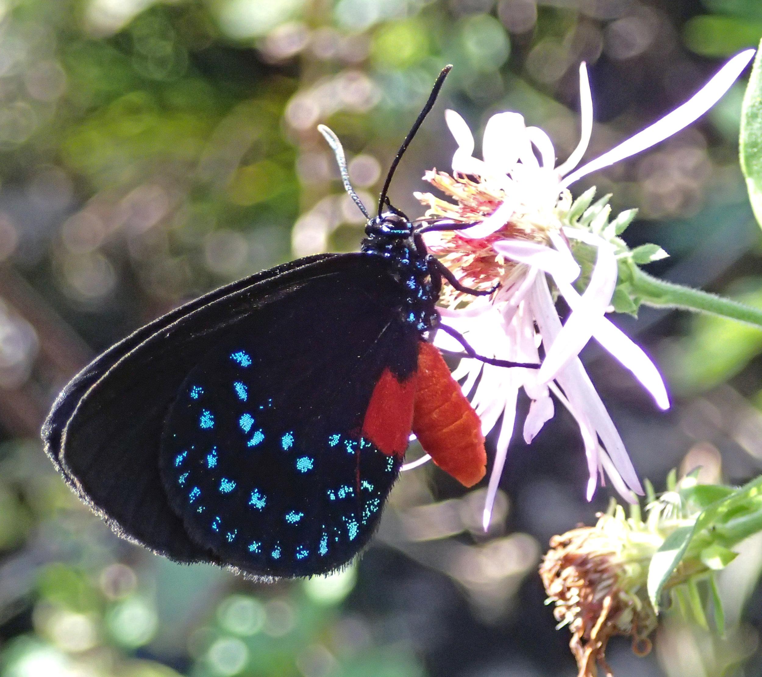 Eumaeus_atala_(atala_hairstreak_butterfly)_(Florida,_USA)_2_(17225486286).jpg