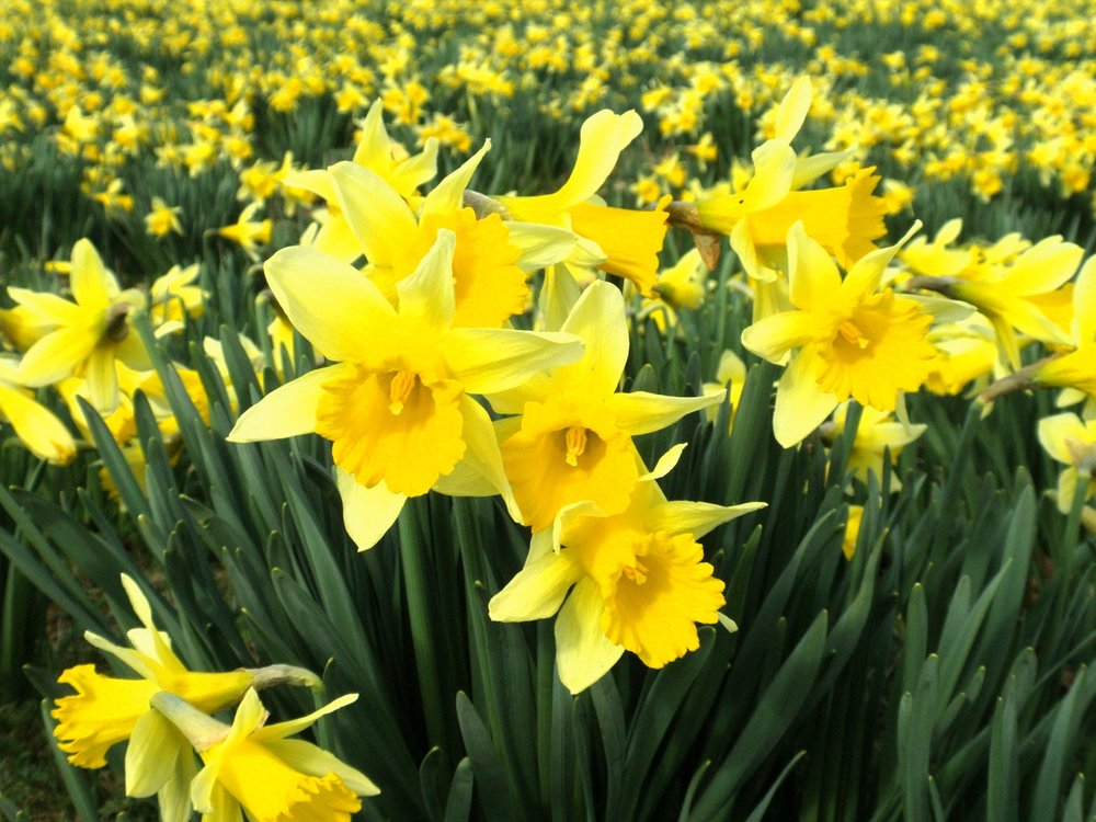 Daffodil Insights In Defense Of Plants