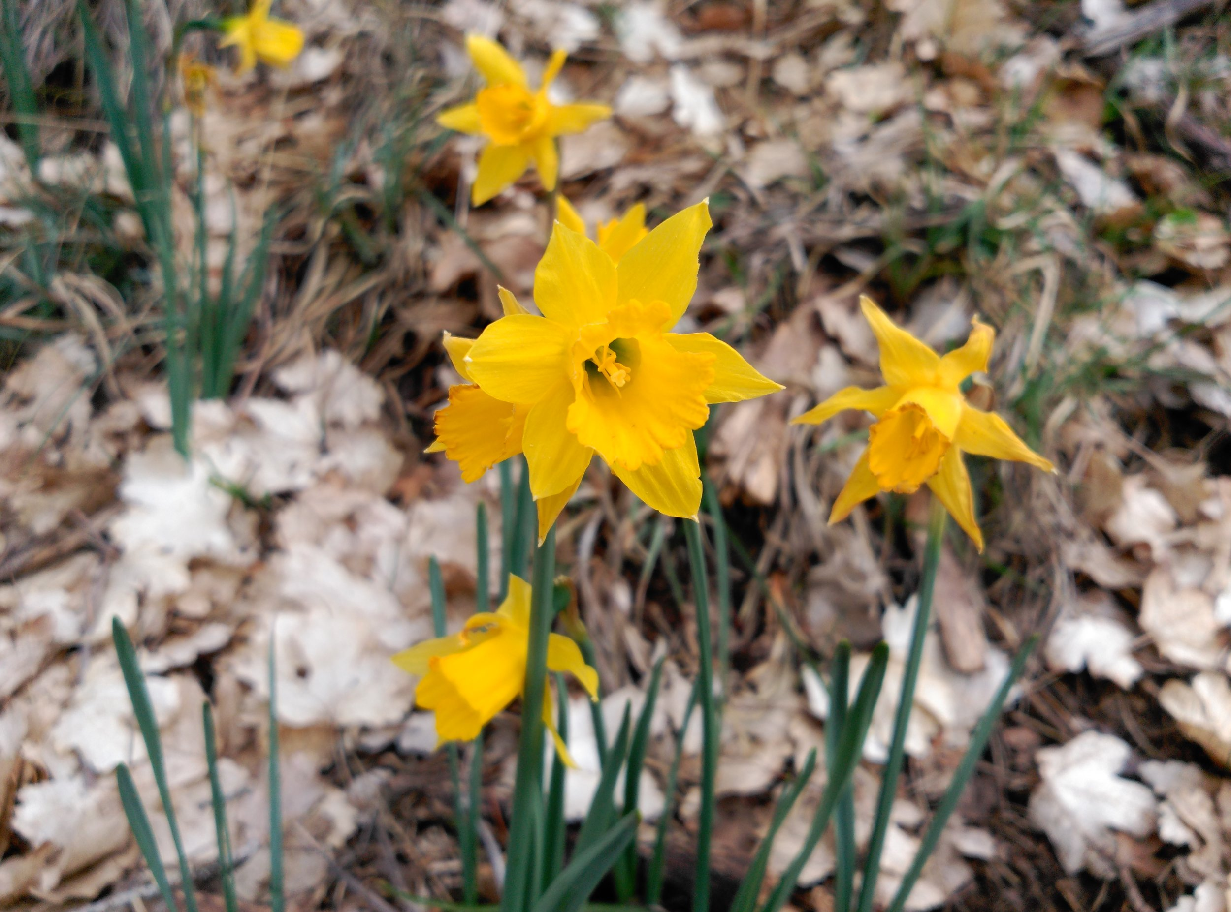 The endangered  Narcissus alcaracensis .