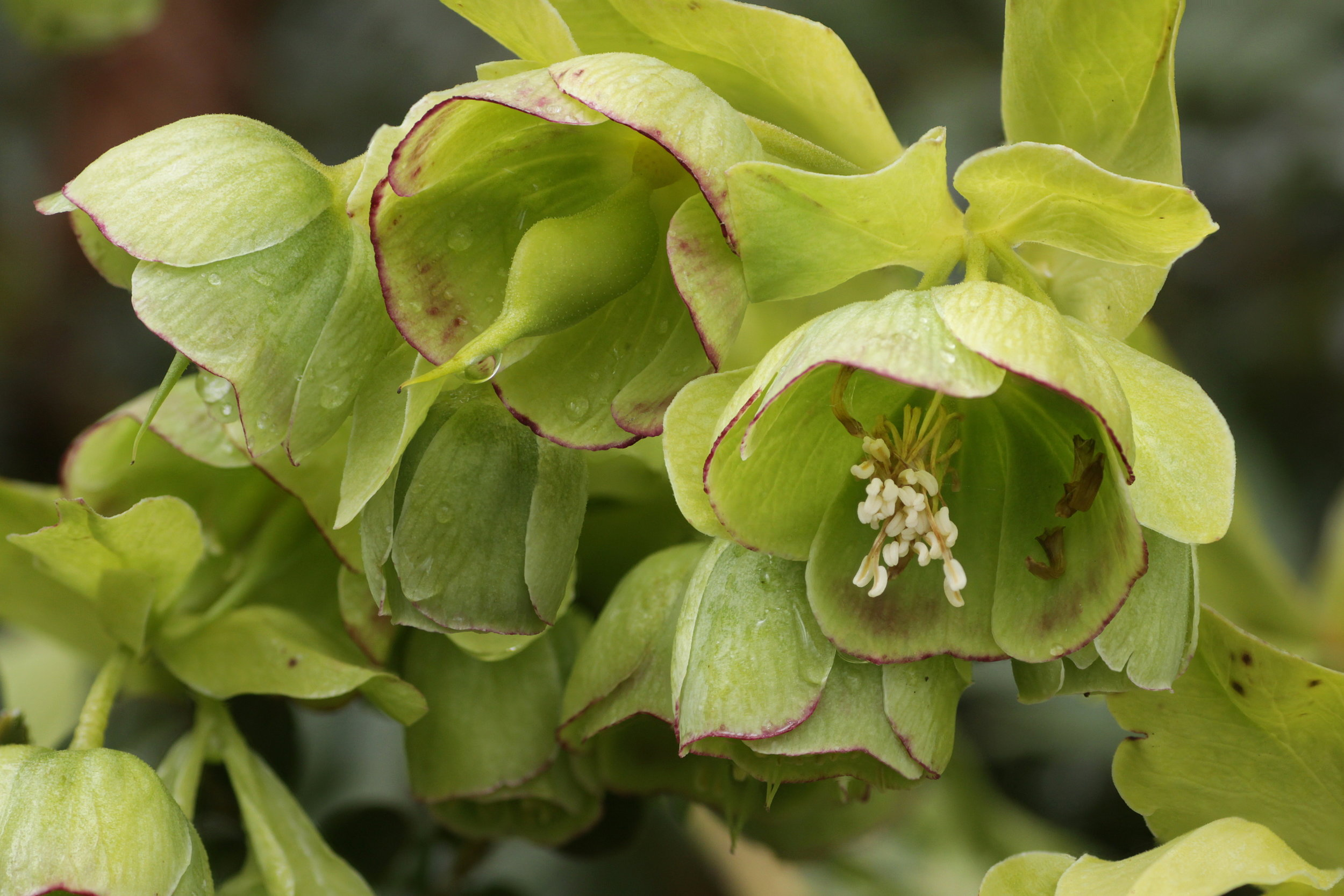 Do Yeasts Aid Pollination For The Stinking Hellebore In Defense