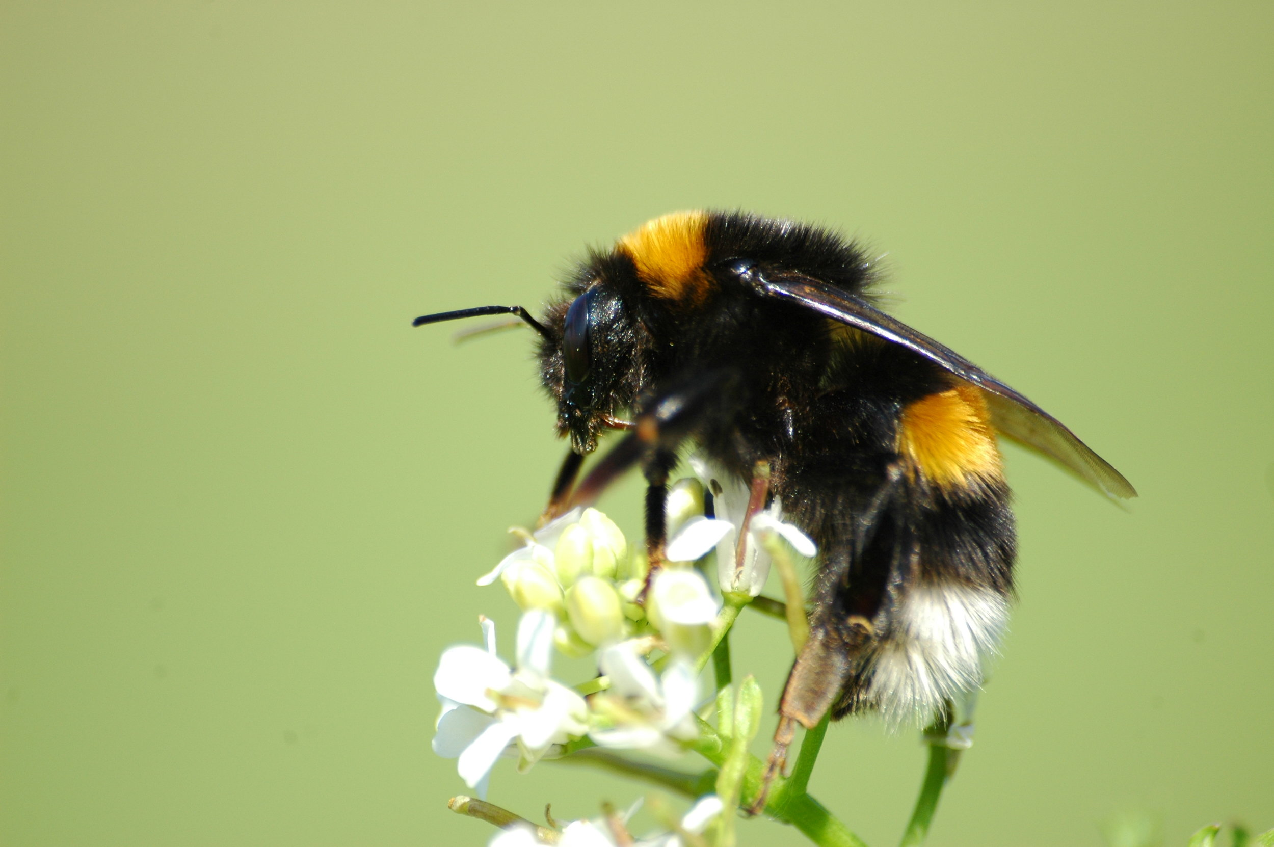 Bombus terrestris  was one of the most common floral visitors of  Helleborus foetidus.