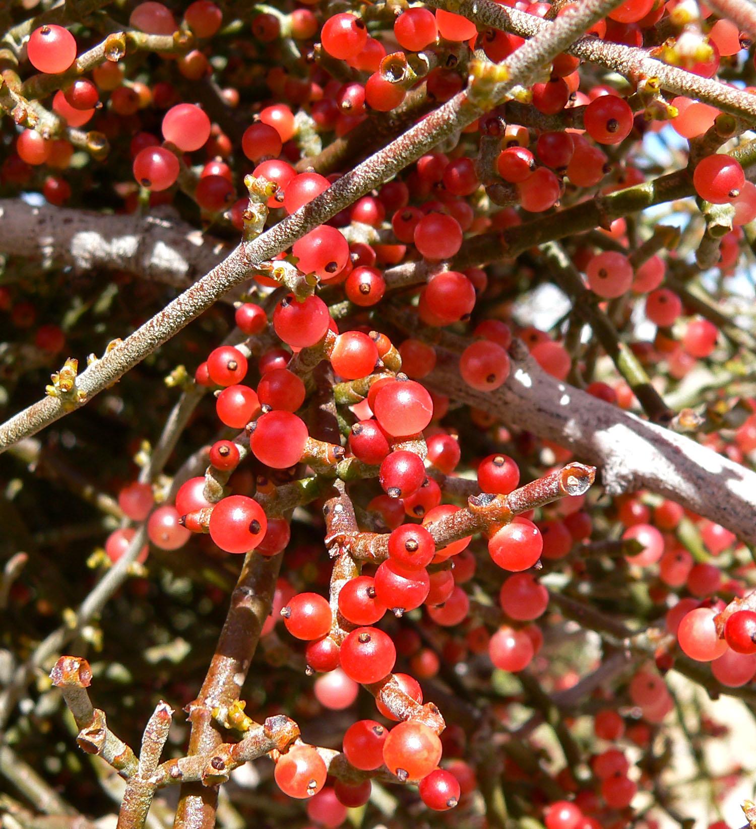 Phoradendron_californicum_6.jpg