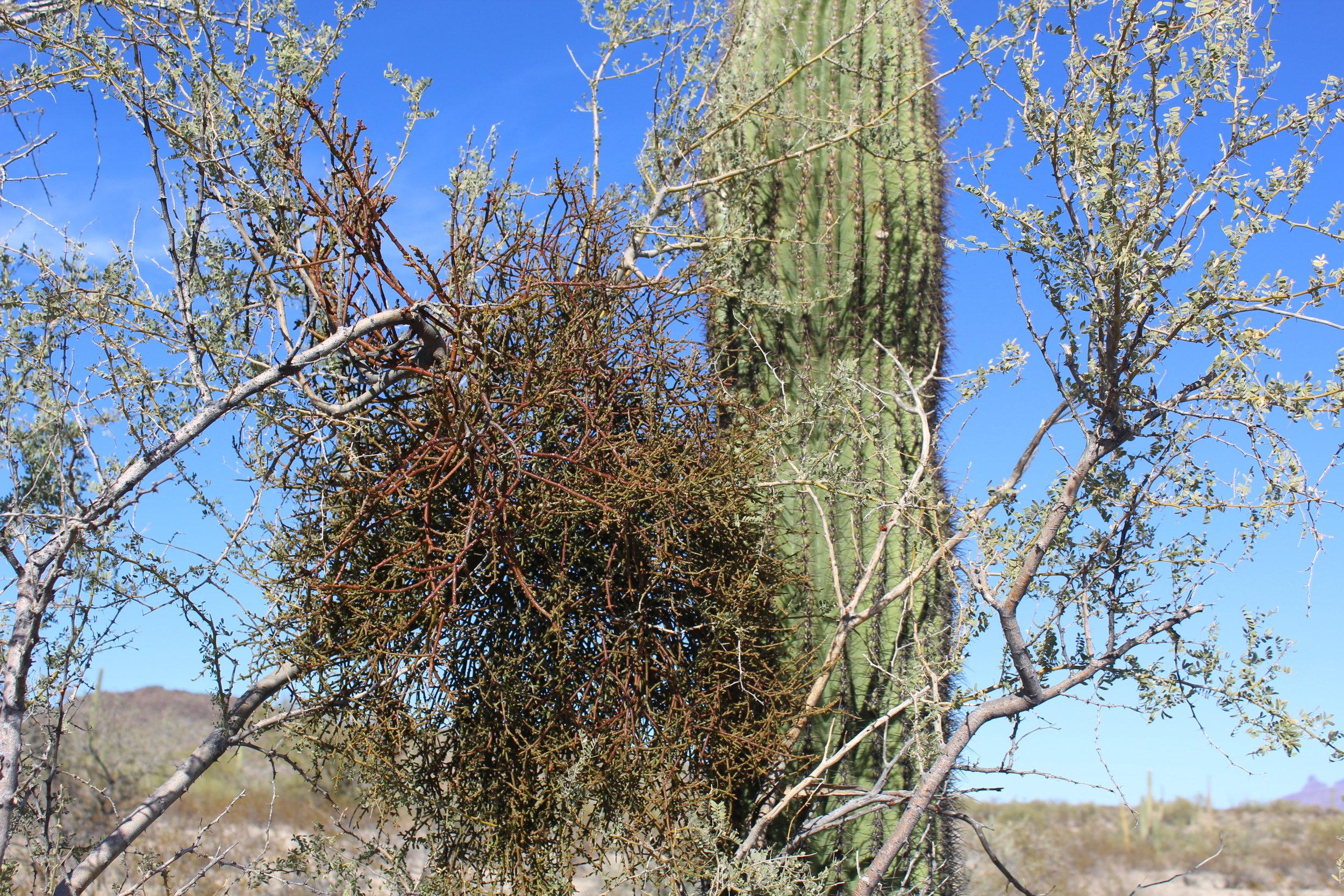 The Desert Mistletoe Evolution In Action In Defense Of Plants