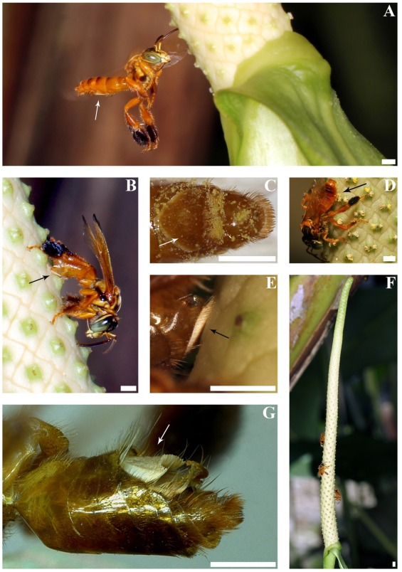 A: A male  P. chocoensis  bee approaching a scented spadix of an inflorescence of  A. acutifolium . B: The abdominal mopping behavior of male  P. chocoensis  oil bees on a spadix. C: Ventral side of the abdomen of a male  P.chocoensis  covered with pollen. D: A male  P. chocoensis  bee on a spadix of an inflorescence of  A. acutifolium , touching the pollen shedding anthers. E: Pubescent region pressed on the surface of  A. acutifolium  during the mopping behavior. F: A scented inflorescence of  A. acutifolium  with three male  P. chocoensis  individuals. G: Image of the abdomen of a male  P.chocensis  in lateral view showing the conspicuous pubescent region. ( SOURCE )