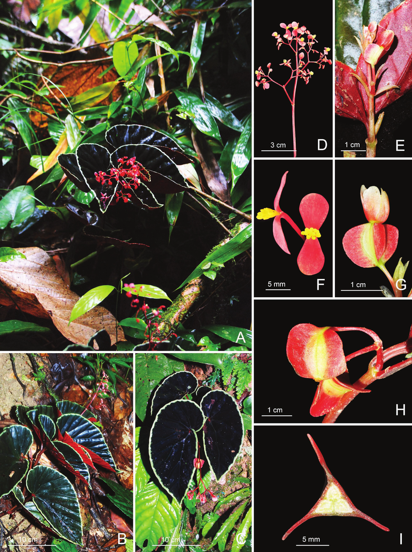 Begonia-darthvaderiana-A-Habit-and-habitat-B-Habit-showing-inward-folding-leaves-C.ppm.png