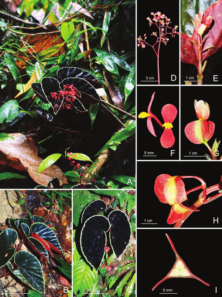 Begonia-darthvaderiana-A-Habit-and-habitat-B-Habit-showing-inward-folding-leaves-C.ppm.png