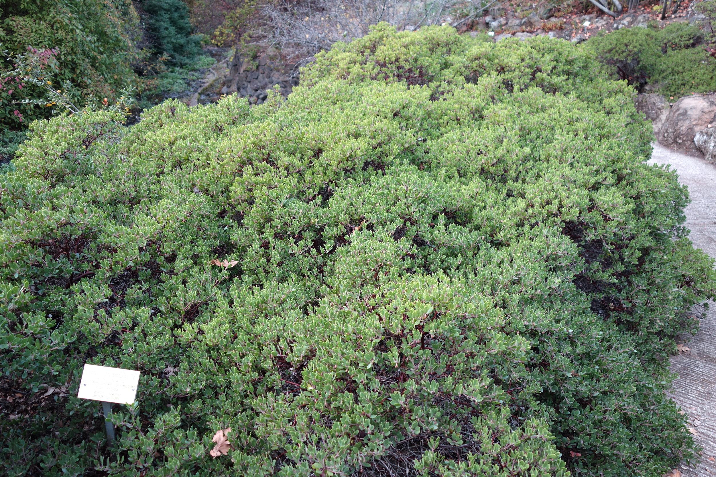 Arctostaphylos_franciscana_-_Regional_Parks_Botanic_Garden,_Berkeley,_CA_-_DSC04529.jpg