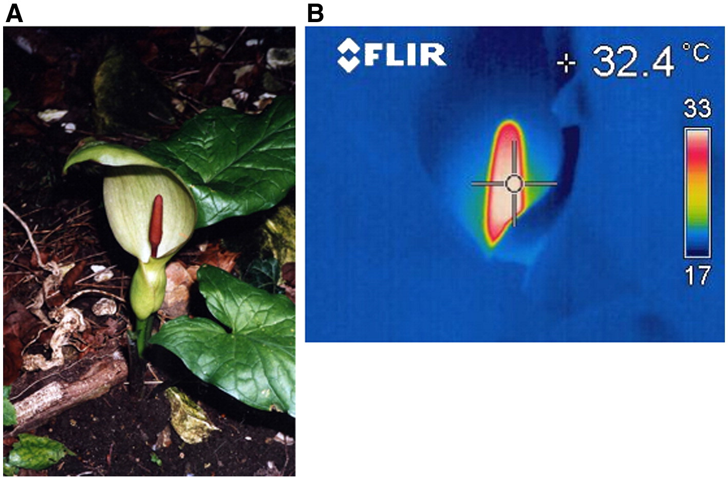 Thermal imaging of the inflorescence of  Arum maculatum .