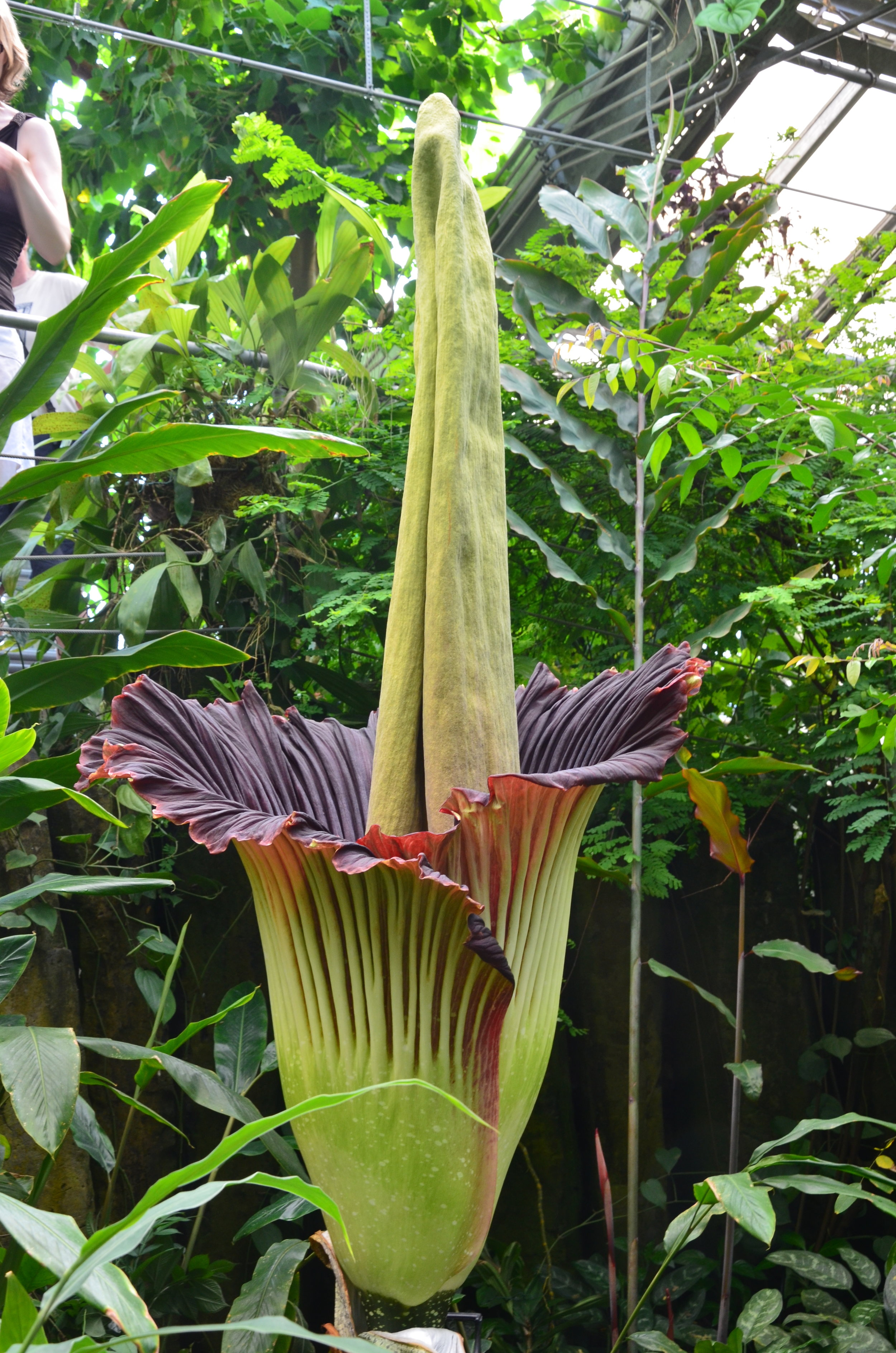 The world's largest inflorescence belongs to the titan arum ( Amorphophallus titanum ) and it too produces heat.