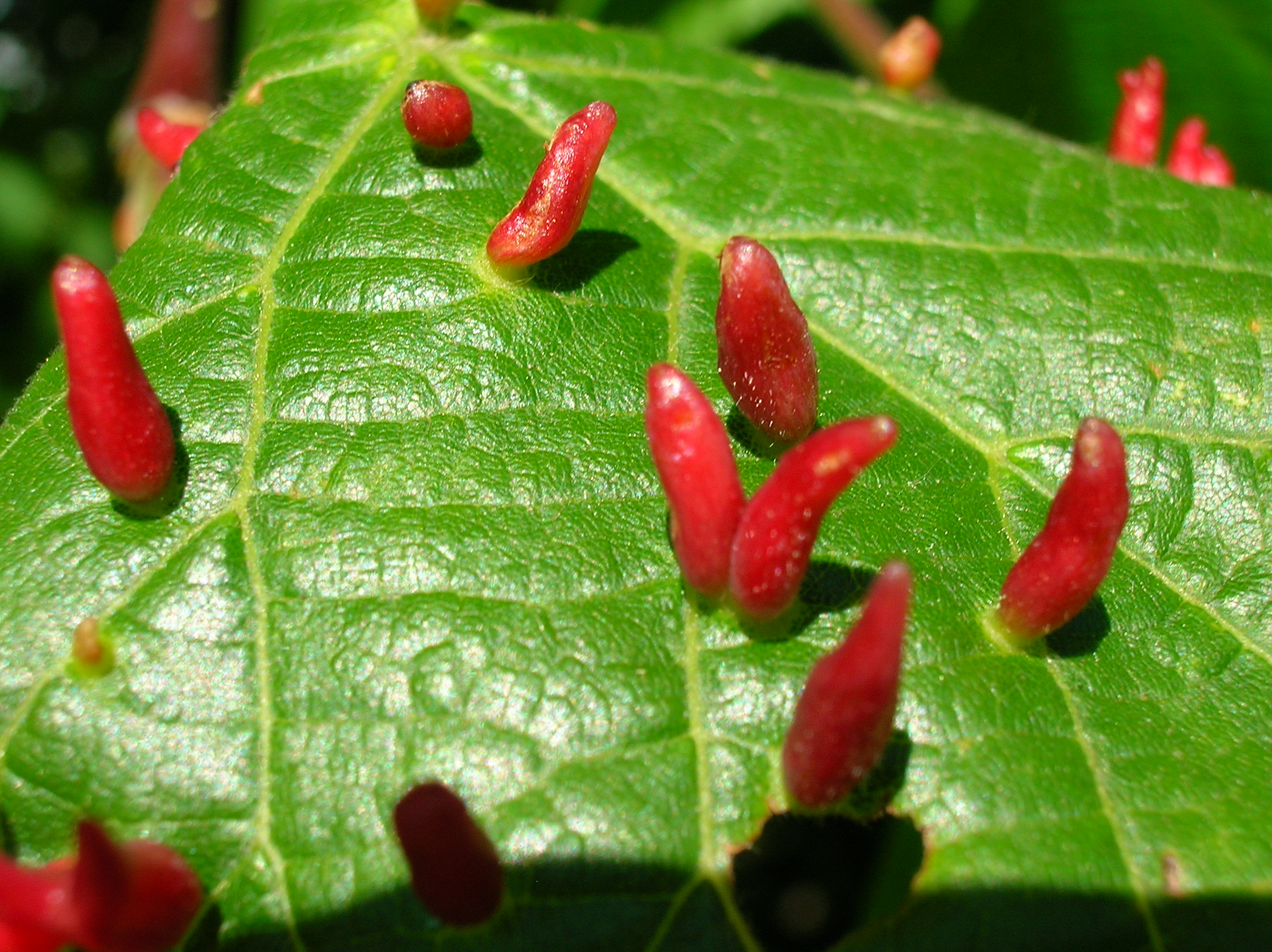 Lime nail gall ( Eriophyes tiliae )