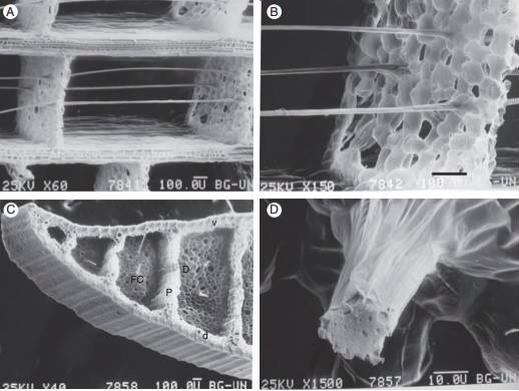(A) Longitudinal section showing the fibre cables anchored in diaphragms composed of aerenchyma tissue. (B) Longitudinal section showing the fibre cables anchored in diaphragms composed of aerenchyma tissue. (C) Cross section. The thick ventral (v)and dorsal (d) surfaces of the leaf are separated by thick partitions (P) that run the length of the leaf. Thin diaphragms (D) connected perpendicular to the thick partitionsare traversed by very fine fibre cables (FC), which are anchored to them. This construction has often been compared to sandwich-type construction, giving a low-density structure of high stiffness and strength (Rowlatt and Morshead, 1992)