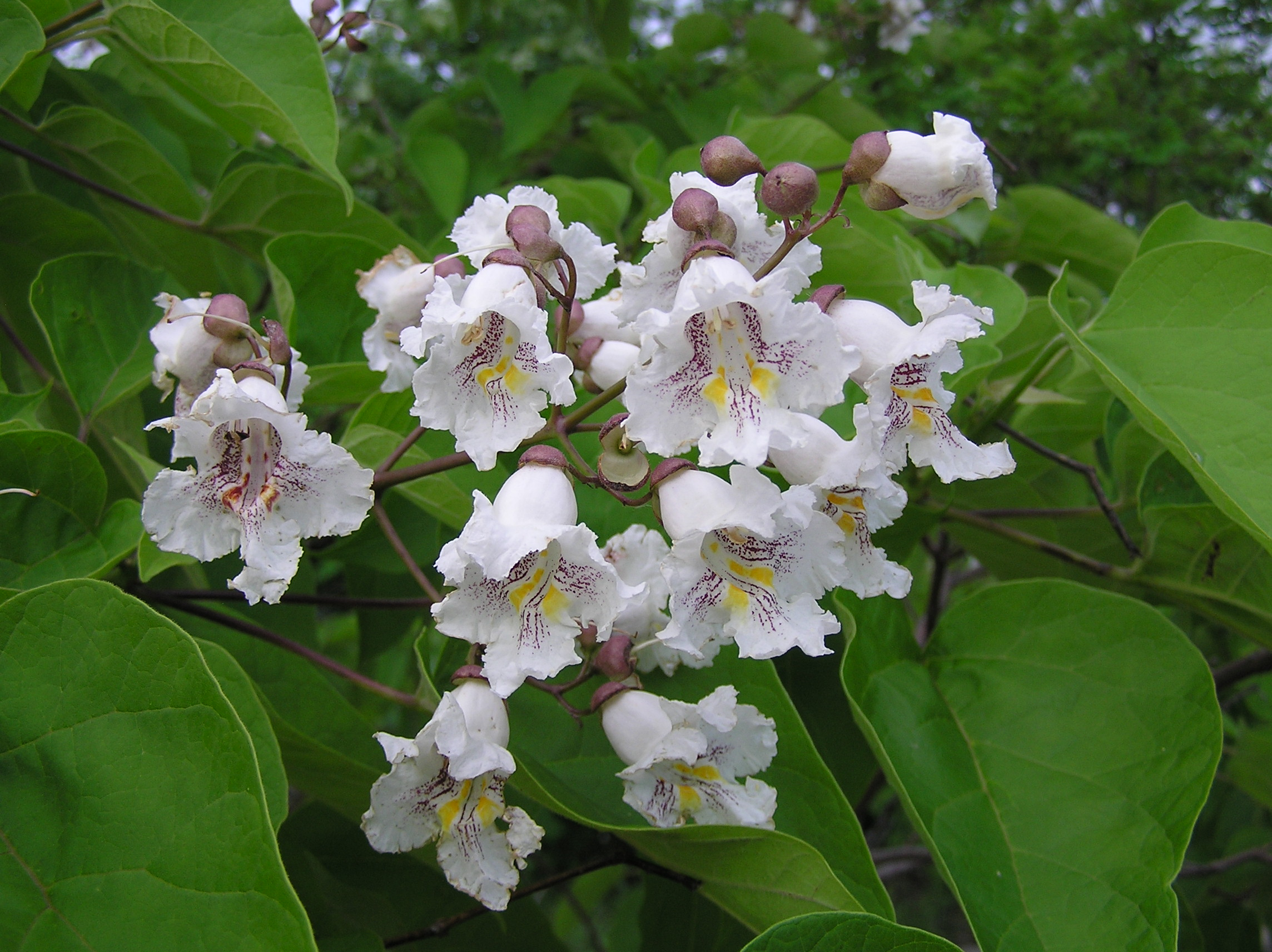 Catalpa nectar has been shown to deter some ants and butterflies but not large bees.