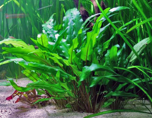 Cryptocoryne wendtii  is one of the most common species in the aquarium trade. Its textured leaves are thought to have a higher surface area, allowing this plant to thrive in shaded aquatic habitats.