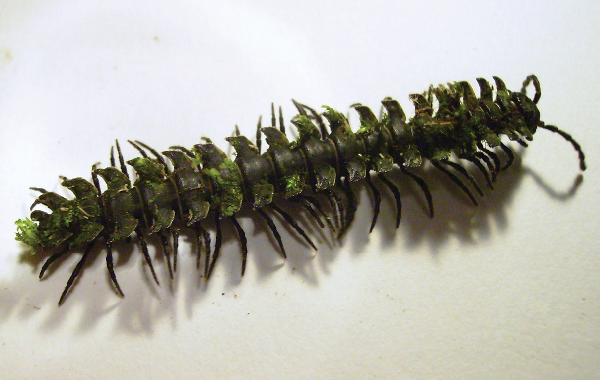 Bryophytes on a  Psammodesmus bryophorus  male.