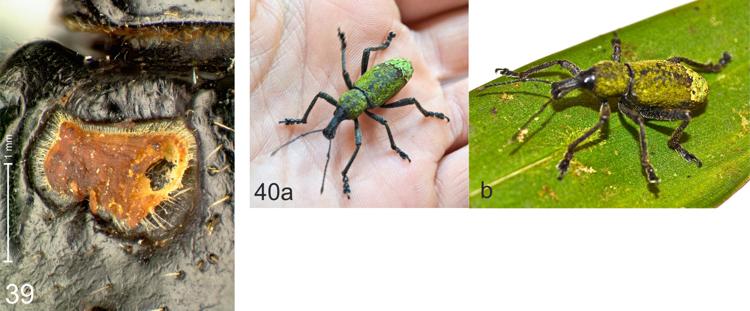 FIGURE 39. Elytral base of Gymnopholus (Niphetoscapha) nitidus with exudates. FIGURES 40a–b. Gymnopholus (Niphetoscapha) inexspectatus sp. n., live specimen with incrustrations of algae and lichens; photographs M. Wild, Mokndoma.  [SOURCE]