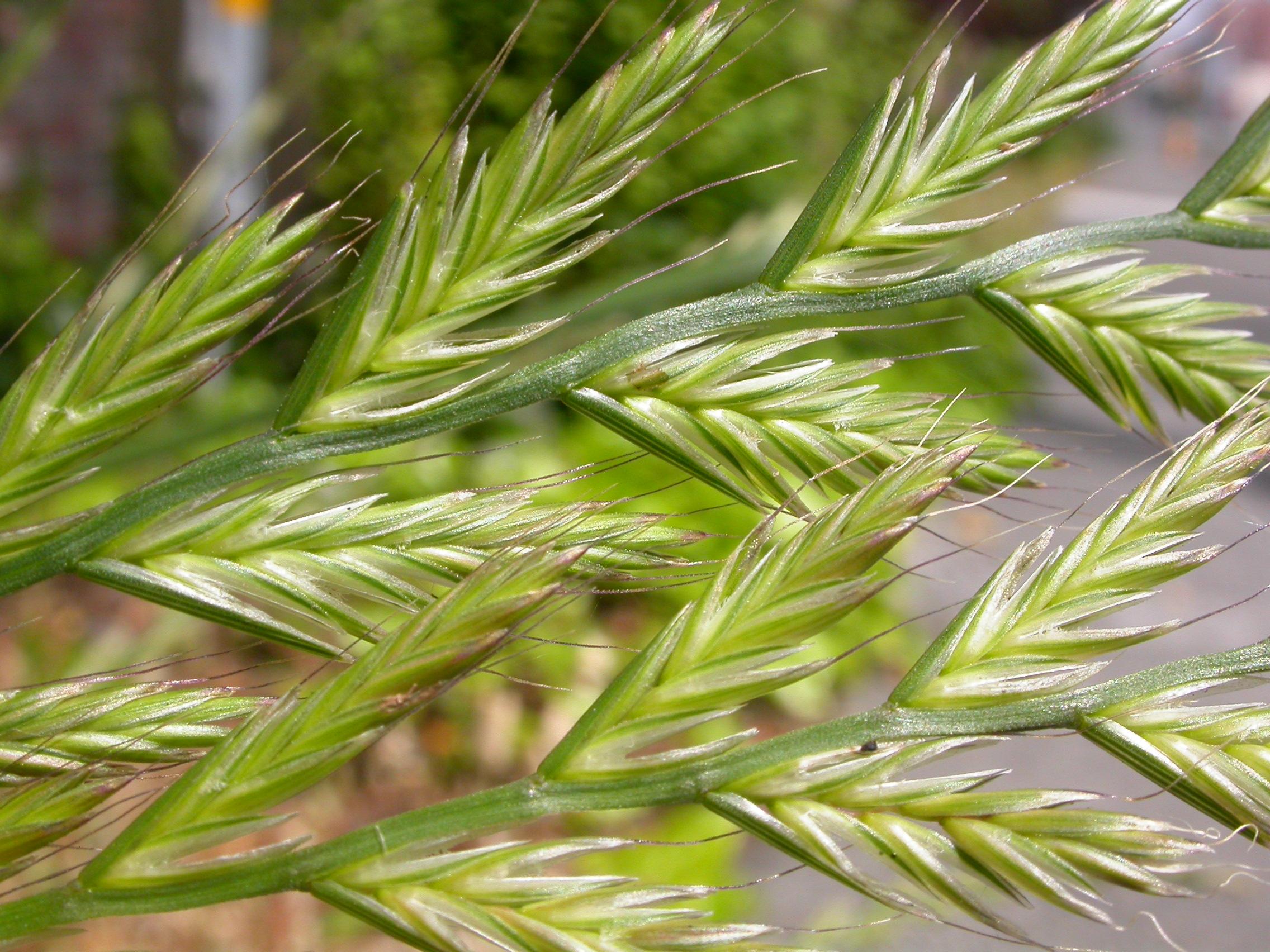 Italian ryegrass ( Lolium multiflorum ) is one of the most studied grasses that host endophytic fungi.
