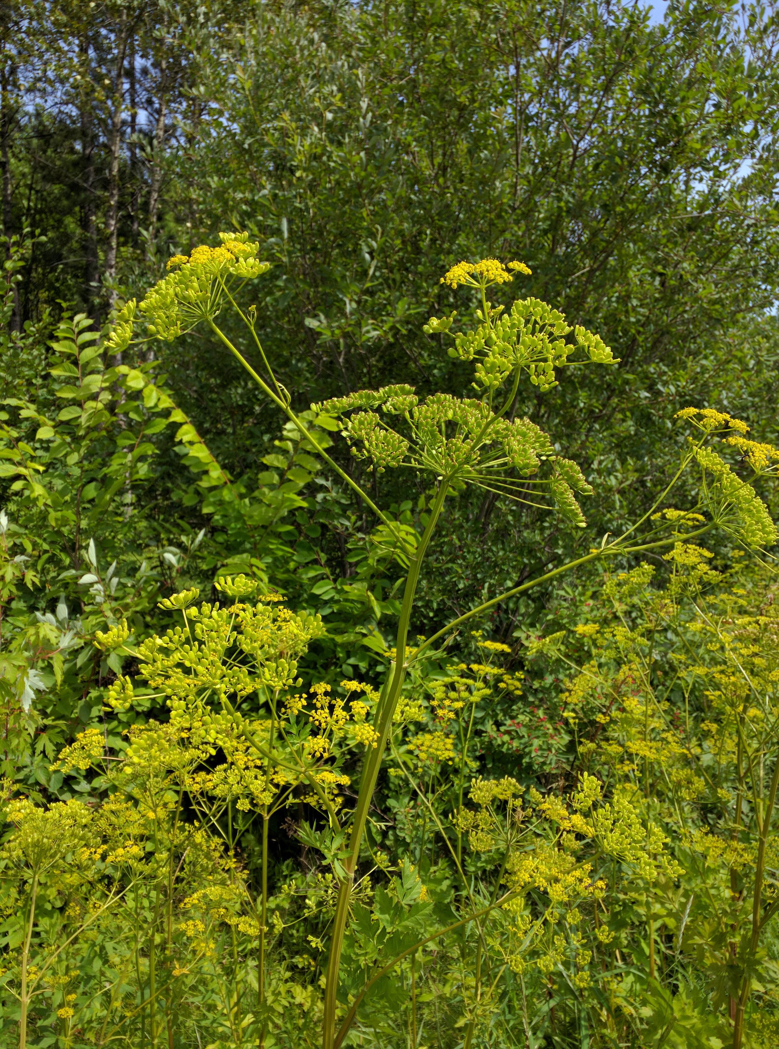 Wild parsnip ( Pastinaca sativa )