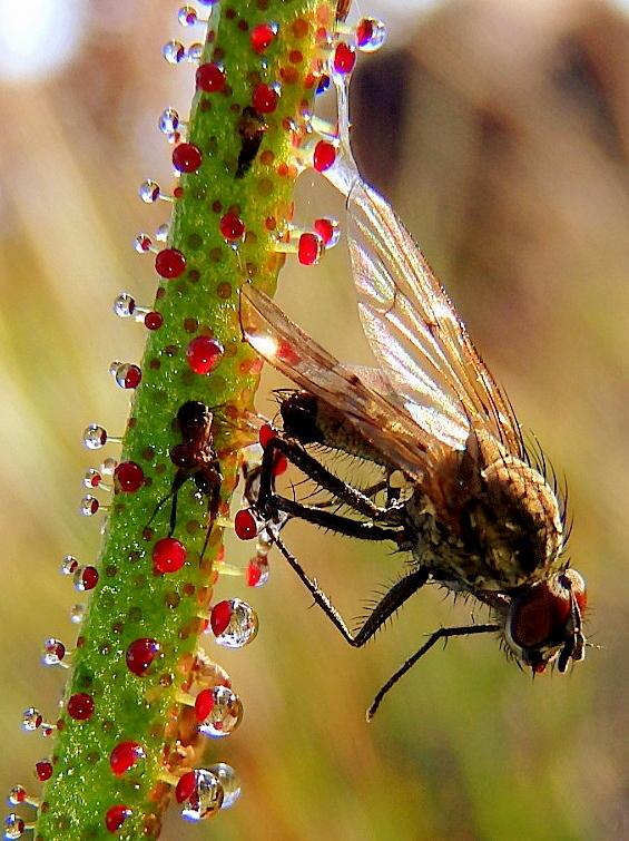 Drosophyllum_lusitanicum_concurso_reserva_biosfera.jpg