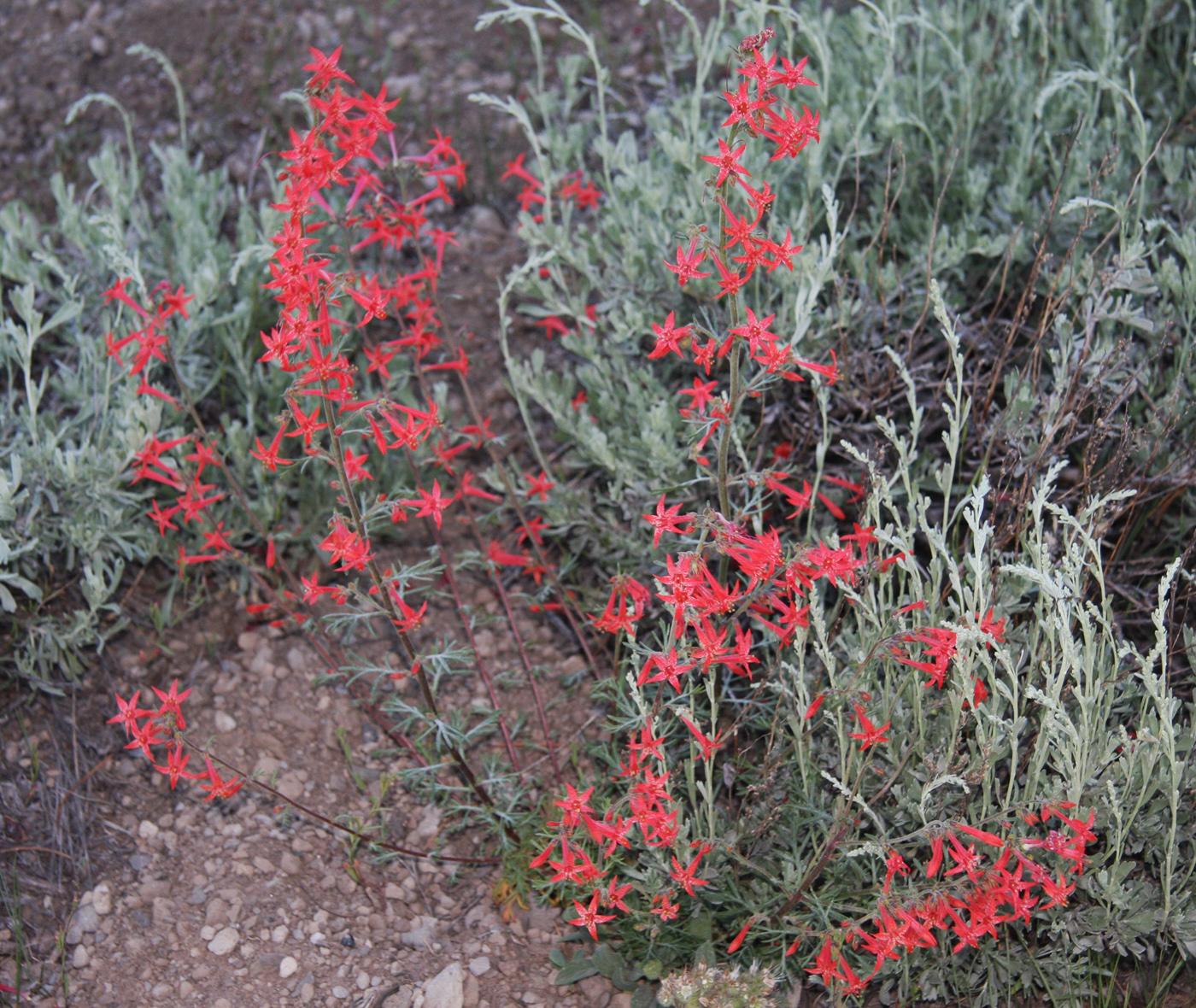 Scarlet gilia ( Ipomopsis aggregata )