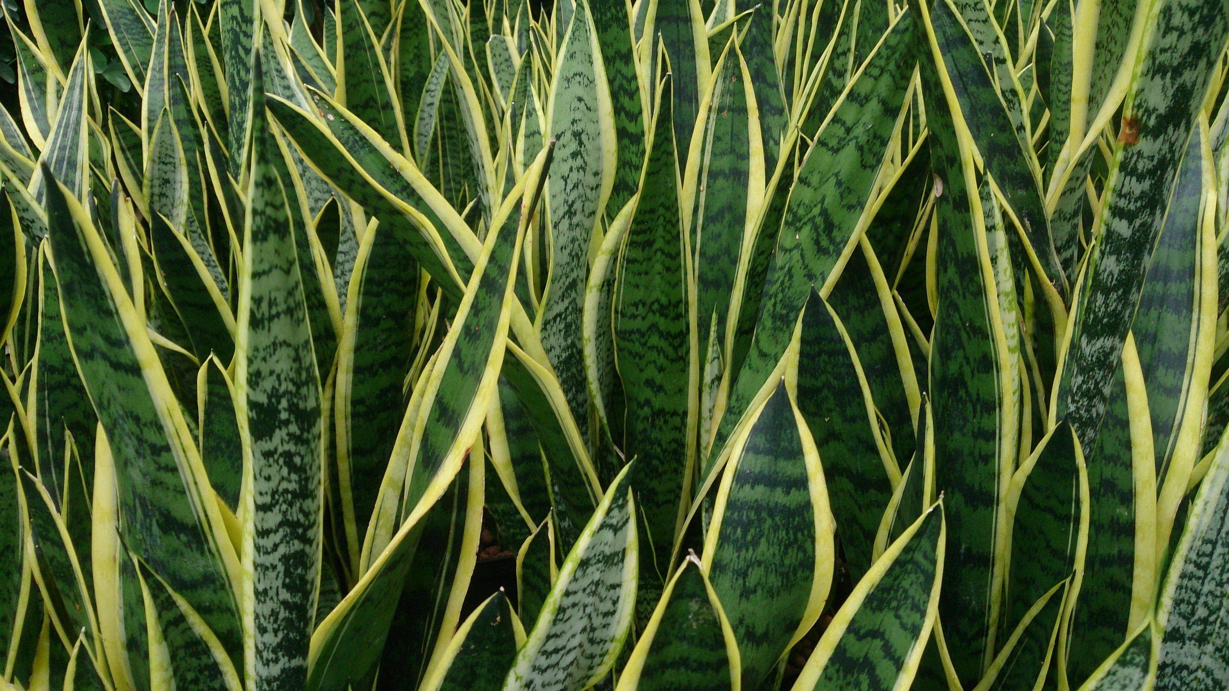 Snake_Plant_(Sansevieria_trifasciata_'Laurentii').jpg