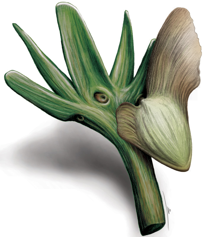 Artists reconstruction of a seed-bearing shoot of  Manifera talaris . Drawing by Ivo Duijnstee
