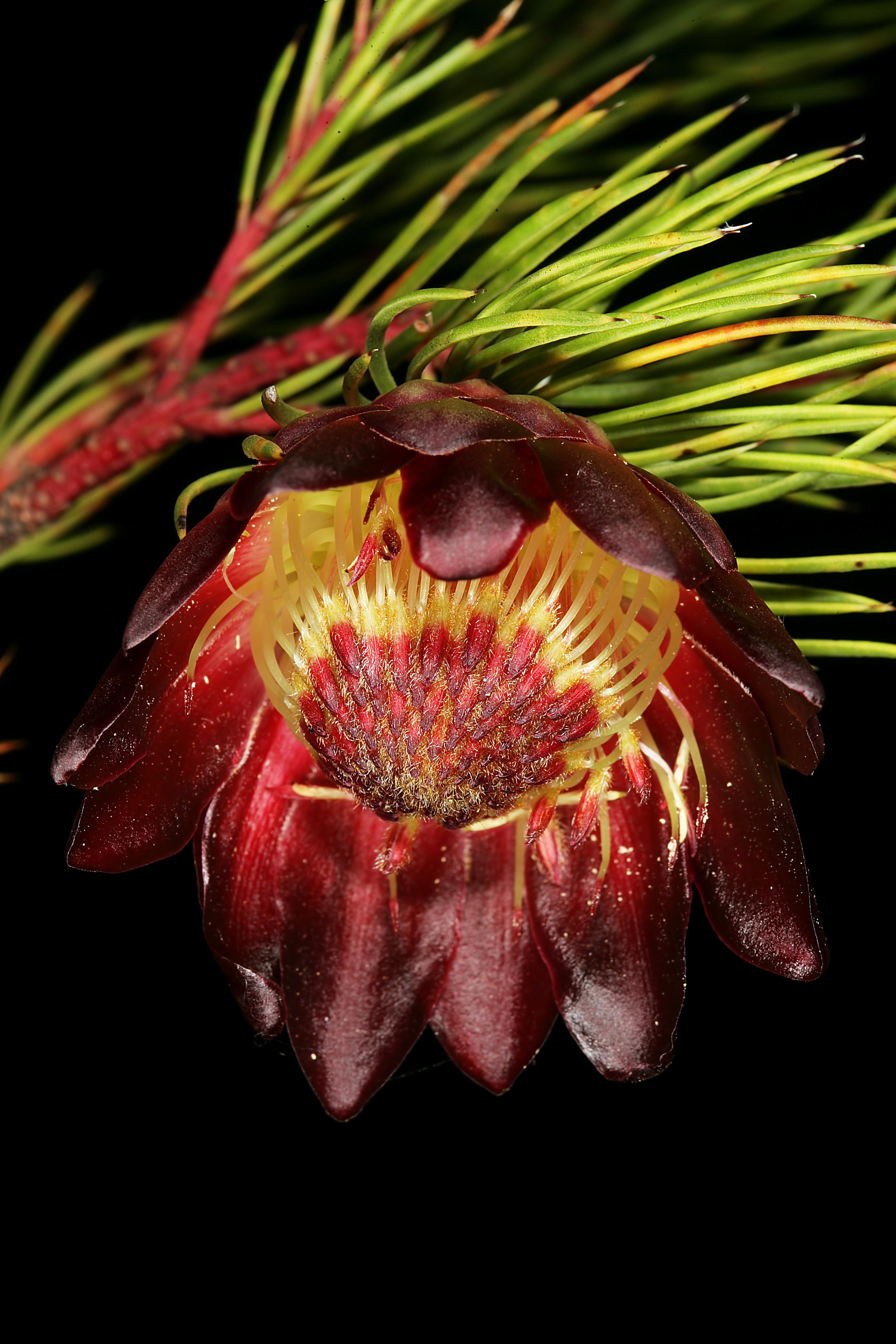 Protea nana