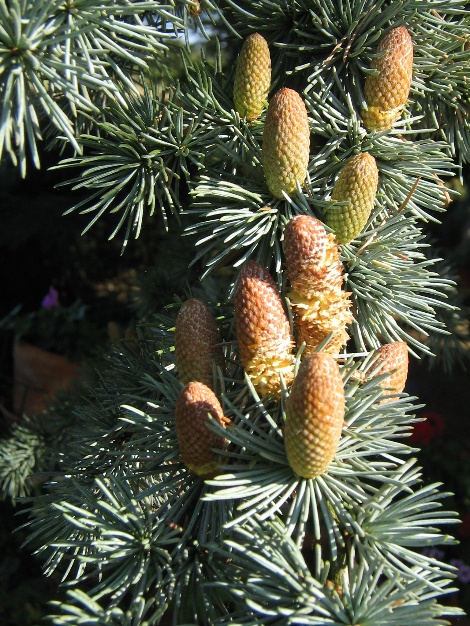 Male cones of  Cedrus atlantica