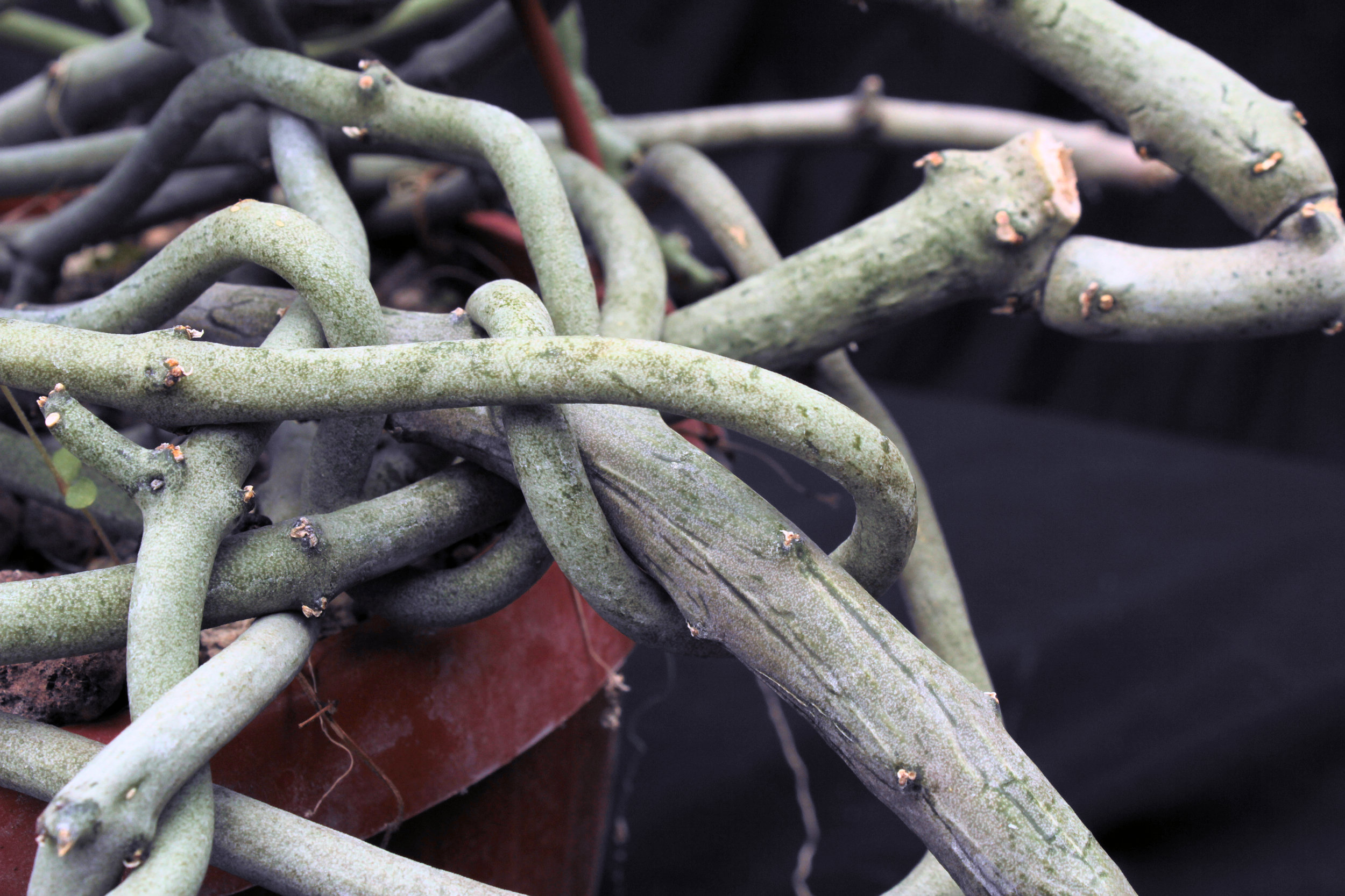 The succulent stems of  Ceropegia cimiciodora .