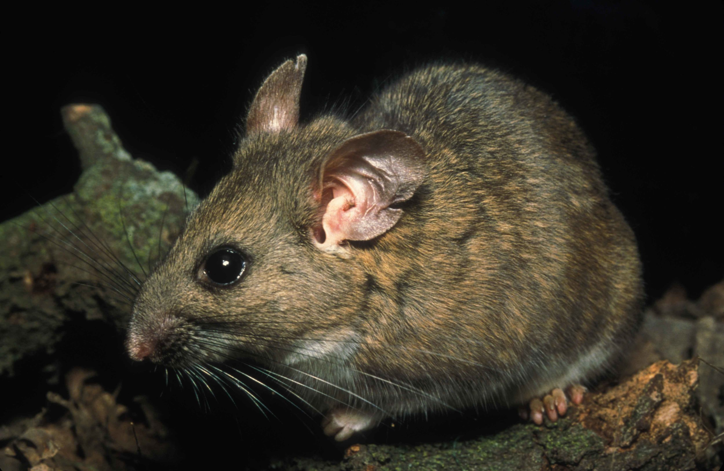 Riparian_woodrat_neotoma_fuscipes_riparia_endangered_mammal_species.jpg