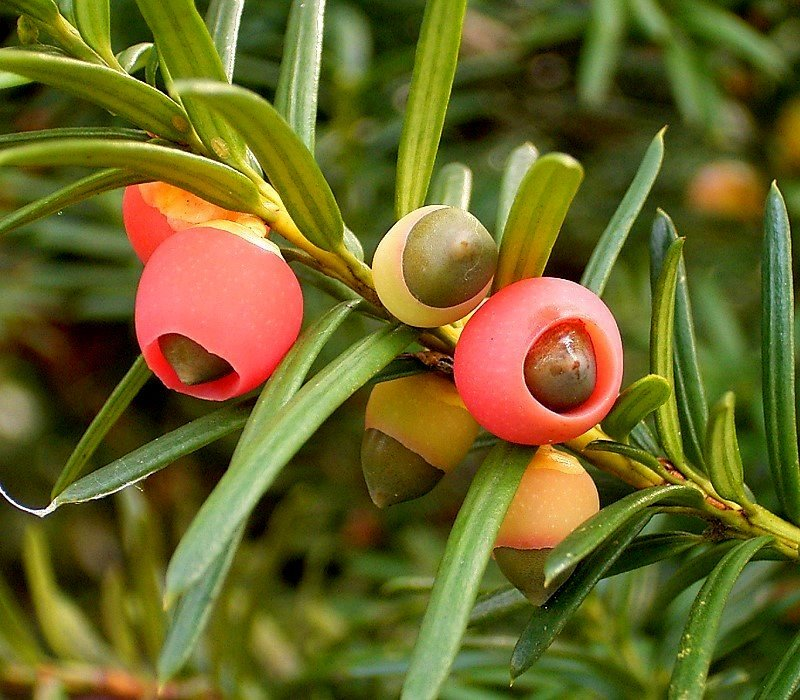 Fleshy red aril surrounding the seeds of  Taxus baccata.