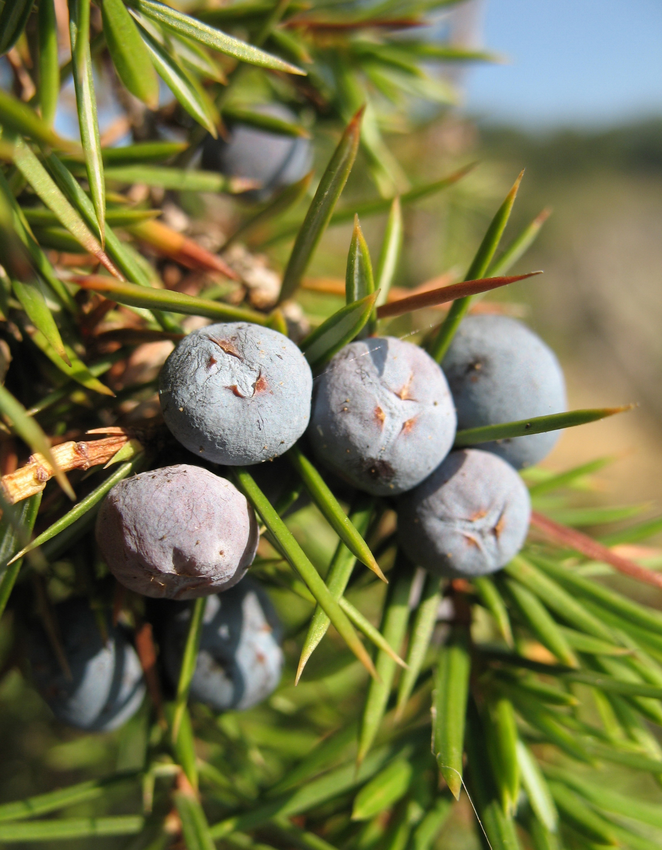 The berry-like cones of  Juniperus communis .