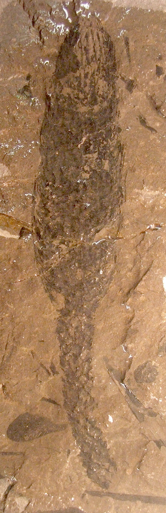 The fossilized strobilus of a Lepidodendron