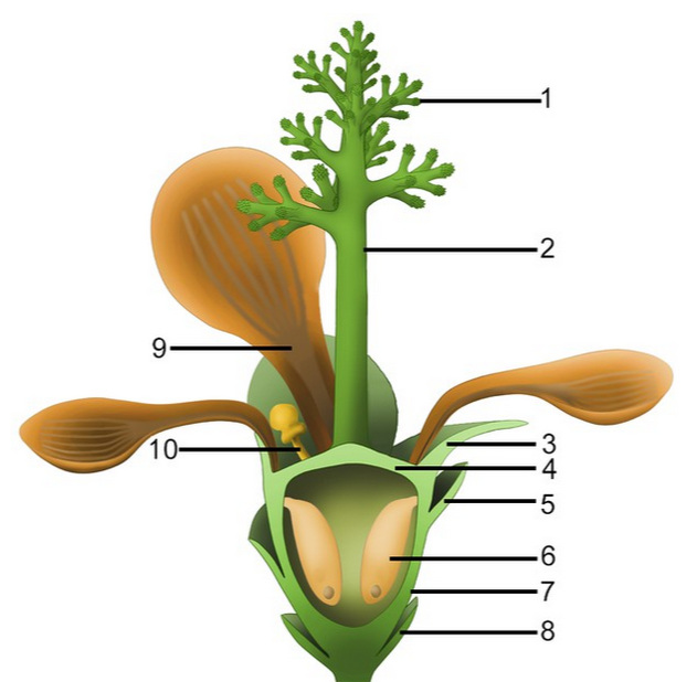 1, style branches; 2, dendroid style; 3, sepal; 4, ovarian roof; 5, scale; 6, seed; 7, cup-form receptacle/ovary; 8, bract; 9, petal; 10, unknown organ (staminode?).  [SOURCE]