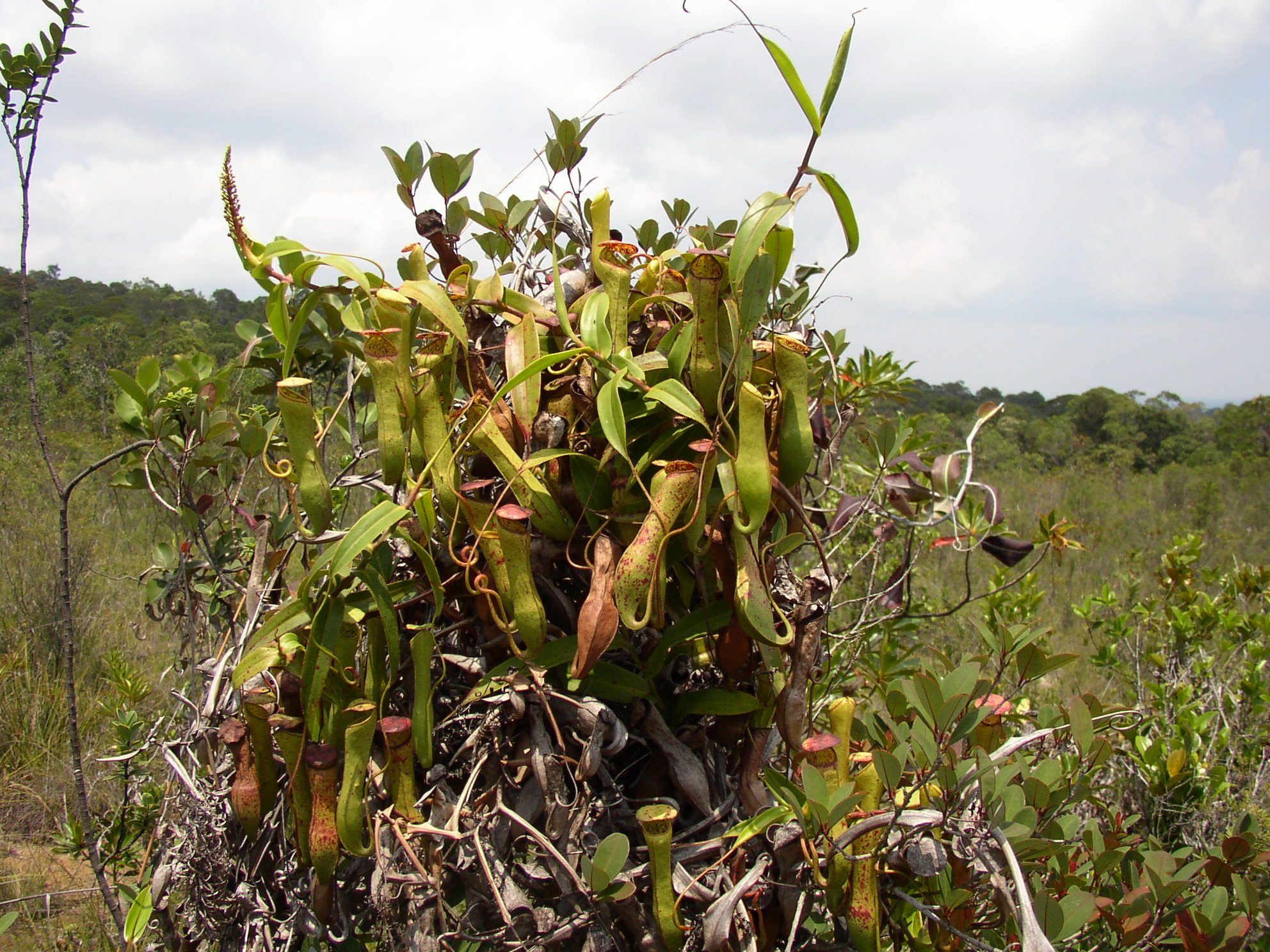 Nepenthes_gracilis_mass.jpg