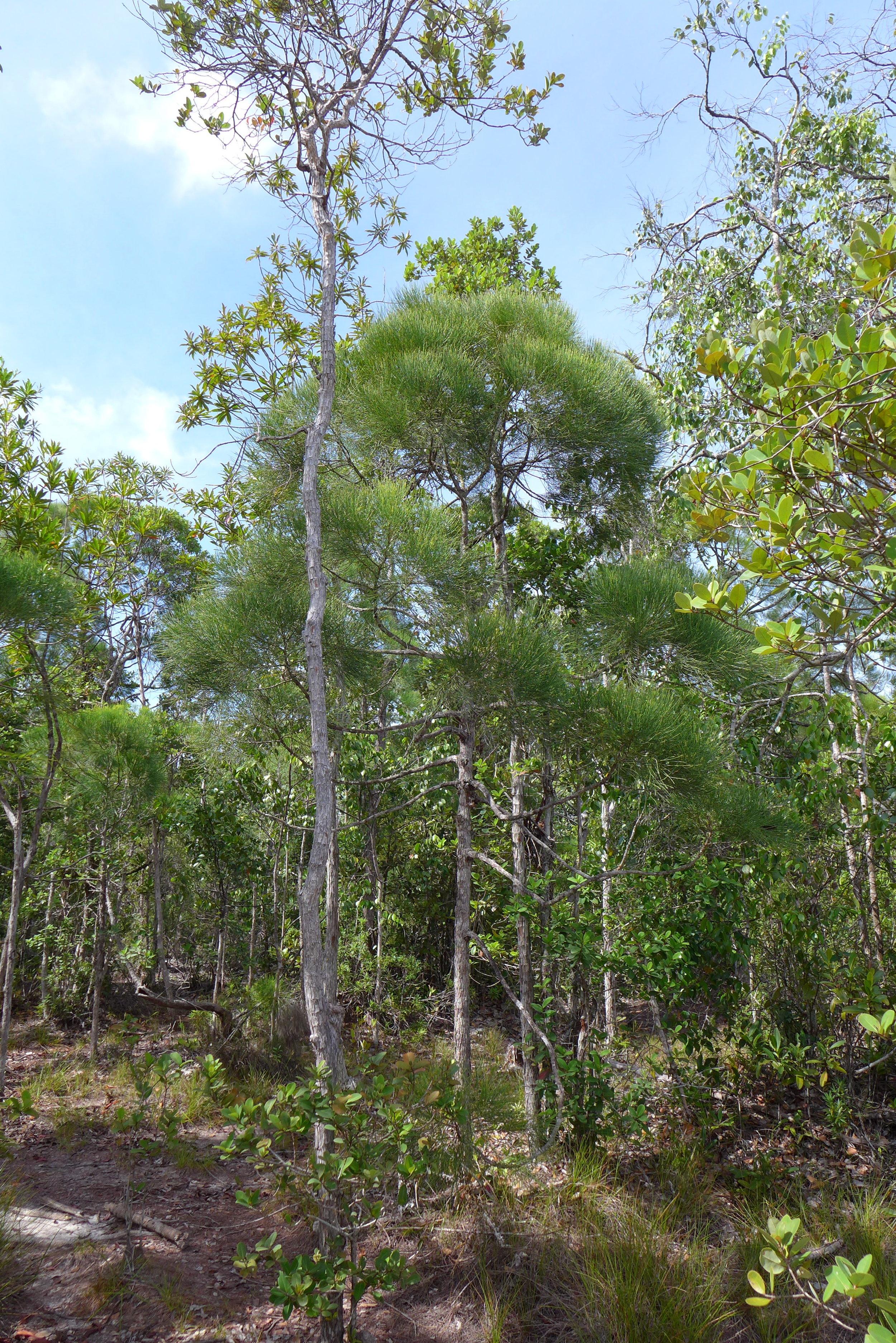 Gymnostoma nobile  in Sarawak, Malaysia.